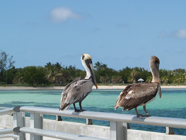Islamorada Islands Pelicans