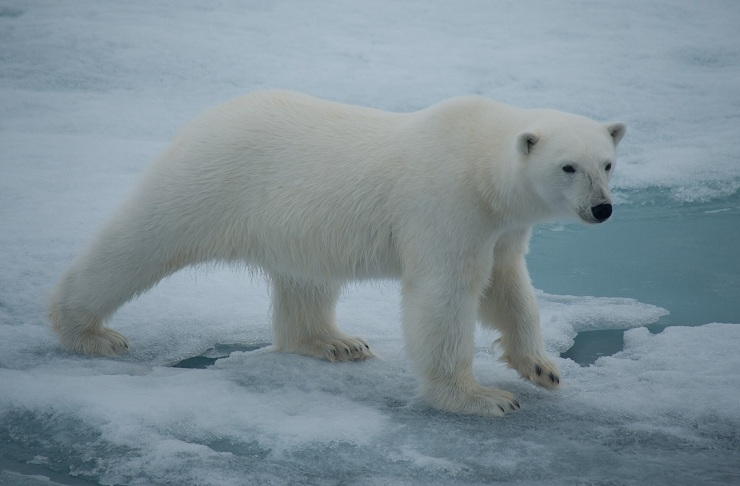 Polar Bear_Erwin vermeulen-Oceanwide Expeditions